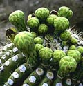 Kaktusai_10