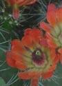 Kaktusai_35