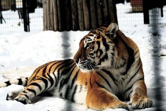 Amūriniams tigrams sniegas – tikras malonumas