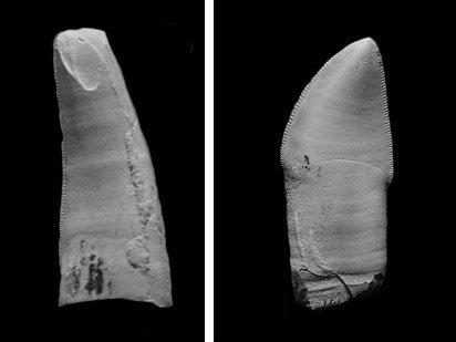Fitozauro dantys (G. Niedzwiedzki nuotr.)