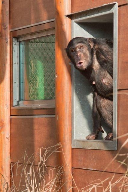 Pirmieji Lietuvos šimpanzės žingsniai po karantino