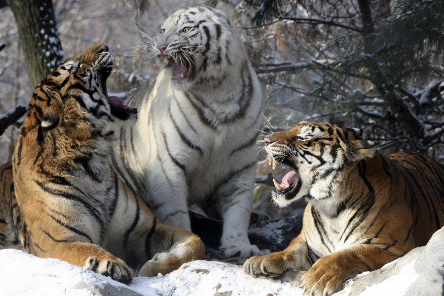 Природы, смешные картинки с тиграми и запашными с надписями