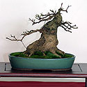 Tarptautinė bonsai ir suiseki paroda Alytus 2005. Bonsai