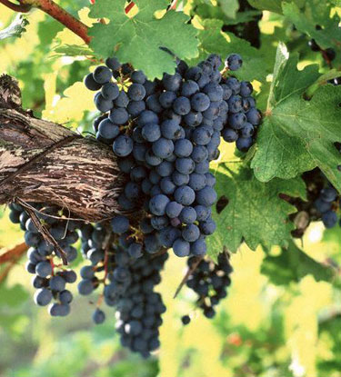 Cabernet Sauvignon vynuogės