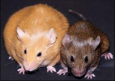 Genetiškai identiškos Agouti pelės