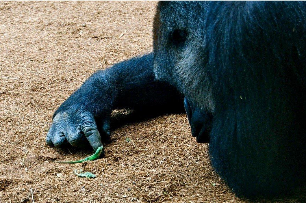 Dvejetainiai variantai gorila