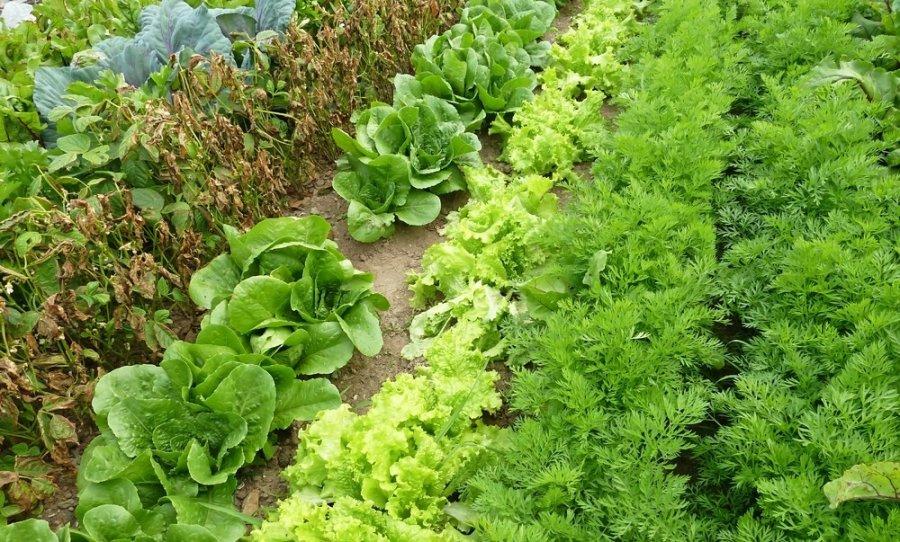 Все виды салата на грядке