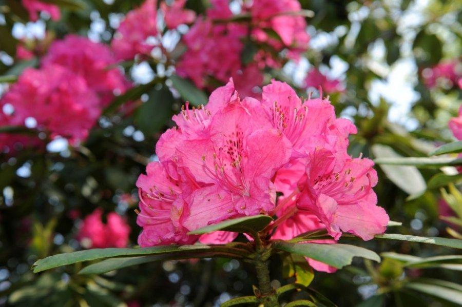 Rododendras žemesnės klasifikacija